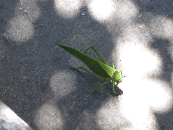 Mutant grasshopper on the move...believe me!