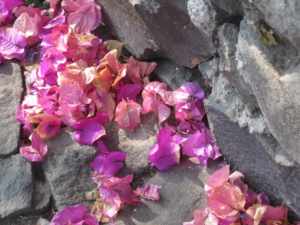 I leave you with these lovely bougainvilleas having fallen to ground and resting gently upon the cobblestones.