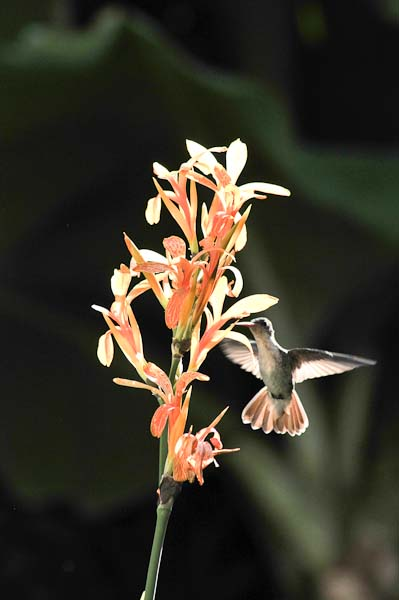 Notice how the hummingbird's wings take on the color of the lily.