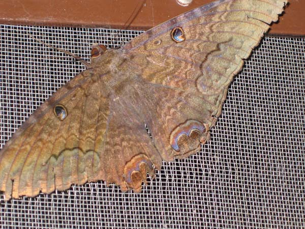A close up of the monster moth.