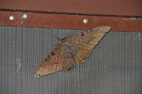This gives you a slightly better idea of the size of the moth