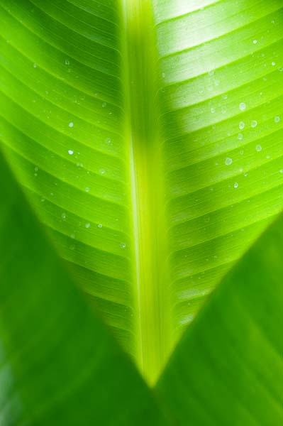 I leave you with this beautiful art shot David took of the sun shining through a banana leaf.