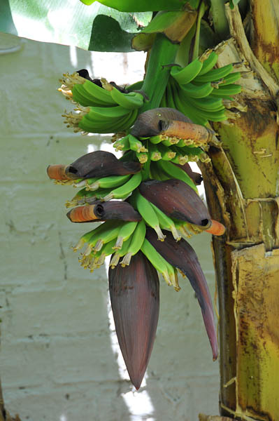 Pod like flower opening to reveal tiny banana babies.  I direct your attention back to the first picture of the tree tipping.  As the bananas grow you can just imagine the weight the tree must bear.