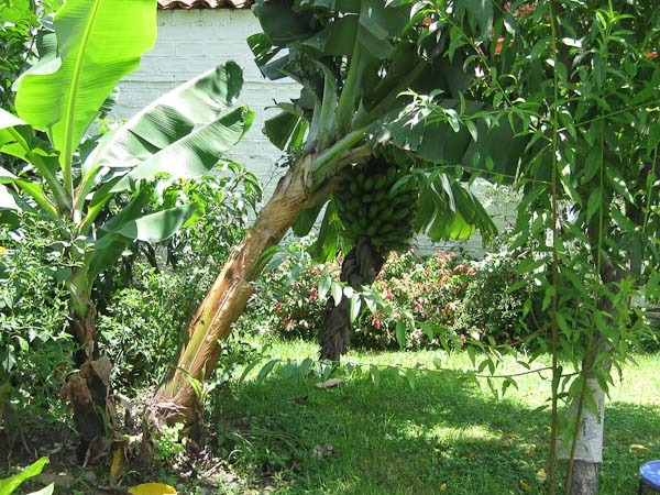 One of our tipping banana trees.