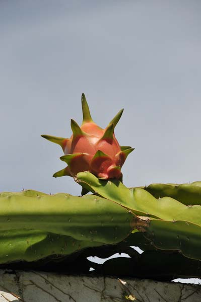 This is a picture of a flower pod on the cactus just inside our gate.